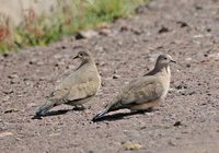Black-winged Ground-Dove - Metriopelia melanoptera