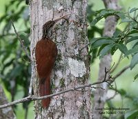Long-billed Woodcreeper - Nasica longirostris