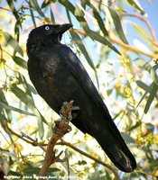 Little Crow - Corvus bennetti