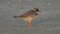 [Semi-palmated Plover in the parking lot, Cape May Point State Park today. Photo by Don Freiday]