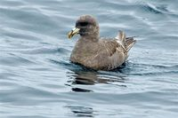 Northern Fulmar. 14 October 2006. Photo by Earl Orf