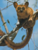 photo of a white-footed sportive lemur : Lepilemur leucopus