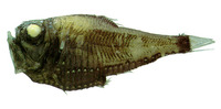 Image of Argyropelecus affinis, Pacific hatchet fish, Garmans sølvøkse, Pacific Hatchetfish, Dee...