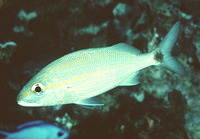Haemulon aurolineatum, Tomtate grunt: fisheries, aquarium, bait