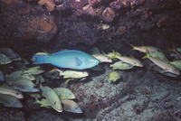 Scarus vetula, Queen parrotfish: fisheries, aquarium