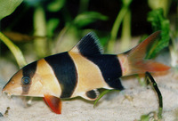Chromobotia macracanthus, Clown loach: fisheries, aquarium