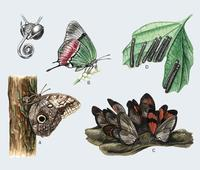 Image of: Lepidoptera (butterflies, butterflies and moths, and moths)