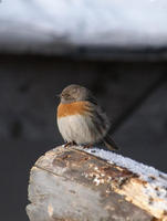 Image of: Prunella rubeculoides (robin accentor)