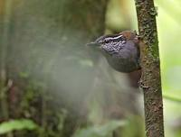 Gray-breasted Wood-Wren (Henicorhina leucophrys) photo