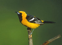 Hooded Oriole (Icterus cucullatus) photo