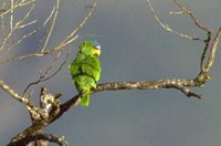 White-fronted Parrot - Amazona albifrons