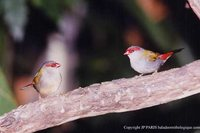 Red-browed Firetail - Neochmia temporalis