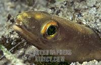 Conger ( Conger conger ) , Mediterranean Sea . stock photo