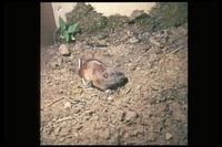 : Thomomys talpoides; Northern Pocket Gopher
