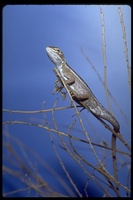 : Diporiphora winneckei; Cane Grass Dragon Lizard