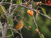 Turdus chrysolaus Brown Thrush アカハラ