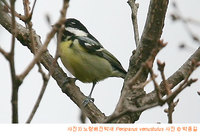노랑배진박새 Yellow-bellied Tit Periparus venustulus V3(So)
