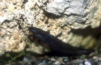 Heteropneustes fossilis, Stinging catfish: fisheries, aquaculture, aquarium