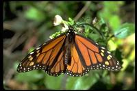Image of: Danaus plexippus (monarch butterfly)