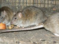 Rattus norvegicus - Brown Rat