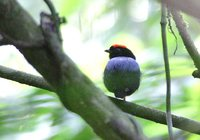 Blue-backed Manakin - Chiroxiphia pareola