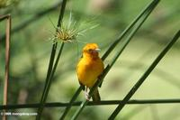 Male orange weaver (Ploceus aurentius) on a papyrus stalk