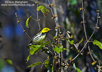: Dendroica virens; Black-throated Green Warbler