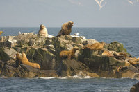 : Eumetopias jubatus; Stellar Sea Lion