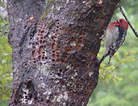 : Sphyrapicus ruber; Red-breasted Sapsucker