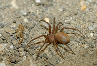 : Loxosceles reclusa; Brown Recluse Spider