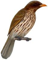 Image of: Dulus dominicus (palmchat)
