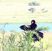 Image of: Euplectes albonotatus (white-winged widowbird)
