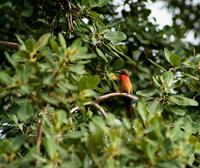 Image of: Merops bulocki (red-throated bee-eater)