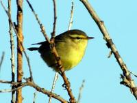 Image of: Phylloscopus affinis (Tickell's leaf-warbler)