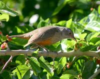 Image of: Turdus rufiventris (rufous-bellied thrush)