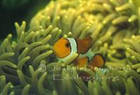 Image of: Amphiprion ocellaris (clown anemonefish)