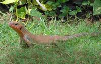 Gerrhosaurus major - African Plated Lizard