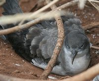 Wedge-tailed Shearwater - Puffinus pacificus
