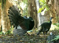 Ocellated Turkey - Meleagris ocellata
