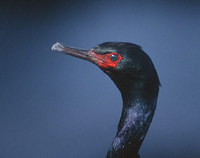 Pelagic Cormorant (Phalacrocorax pelagicus) photo