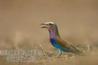 Lilac breasted roller perched on ground stock photo