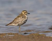 Pacific golden plover C20D 02355.jpg