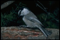 : Parus gambeli; Mountain Chickadee