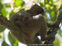 Hapalemur simus, mother and infant, Greater Bamboo Lemur