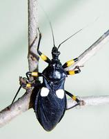 Platymeris biguttata - white-eyed assassin bug