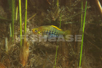 Xiphophorus variatus, Variable platyfish: aquarium