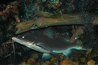 Sperata aor, Long-whiskered catfish: fisheries, gamefish
