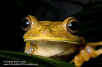 Map Tree Frog - Hyla geographica