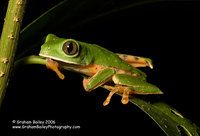 Barred-legged Monkey Frog - Phyllomedusa tomopterma
