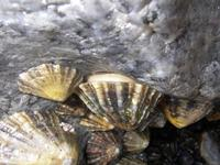 Patella vulgata - Common Limpet